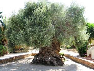 Labaq_olive2000anns_faec5b23s